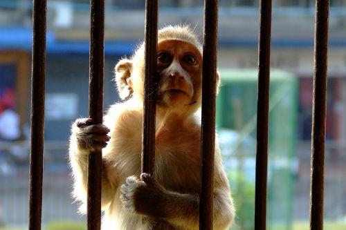 monkey encaged bars
