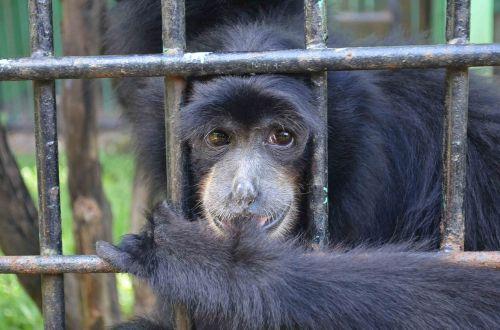 monkey ape emcaged