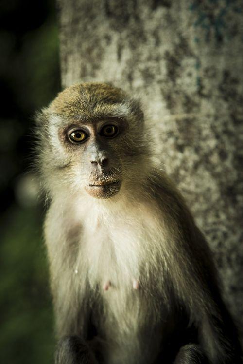 beždžionė,ape,primatas,Malaizija,speneliai,akys,žinduolis,gyvūnas