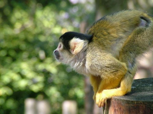 monkey dead chief monkey squirrel monkeys