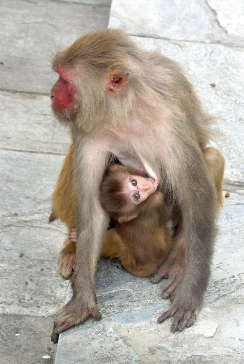 monkey monkey with a cub nepal
