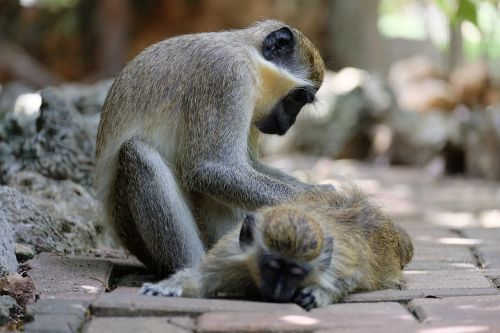 monkey take care animal