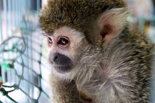 monkey portrait face