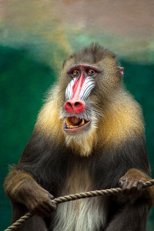monkey mandril africa