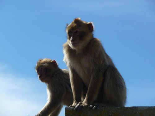 monkey monkeys macaque