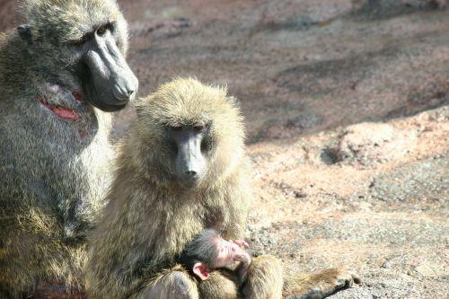 monkey zoo monkey baby