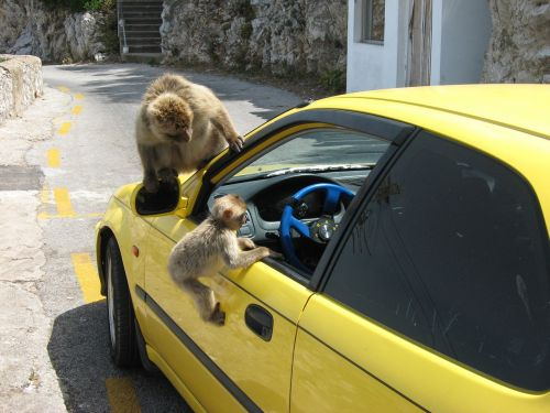 monkey,car,window,summer,animal,mammal,free photos,free images,royalty free
