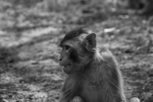 monkey majomféle mammal