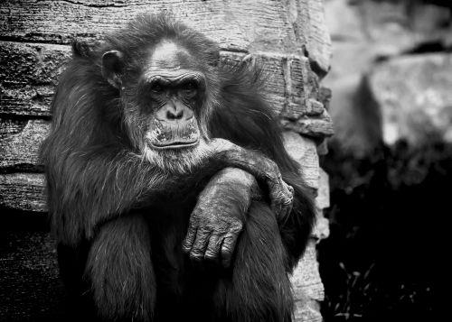 monkey chimpanse black white