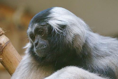 monkey gibbon boredom