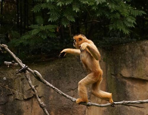 monkey gibbon balance