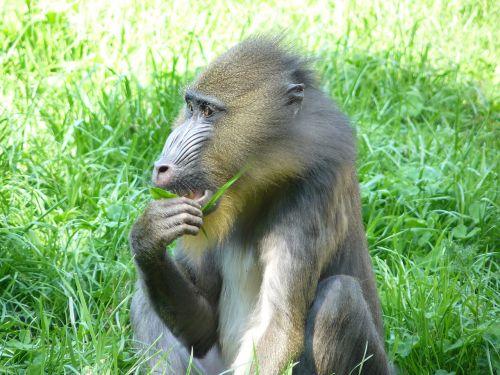 monkey baboon primate