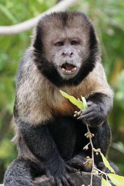 monkey yellow breast capuchin food