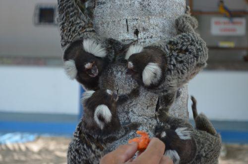 common marmoset monkey ears adorned