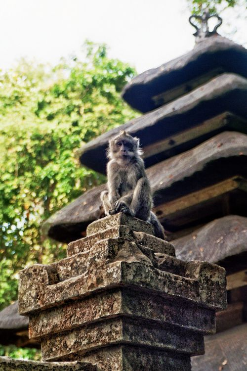 monkey sit animal