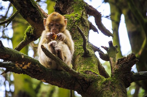 monkey baby  barbary ape  monkey mountain