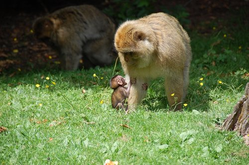 monkey baby  monkey  berber monkeys