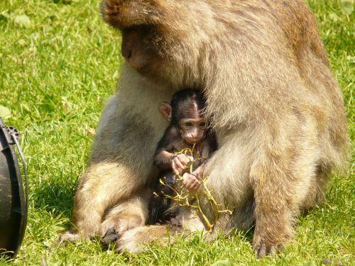 monkey family monkey baby ape