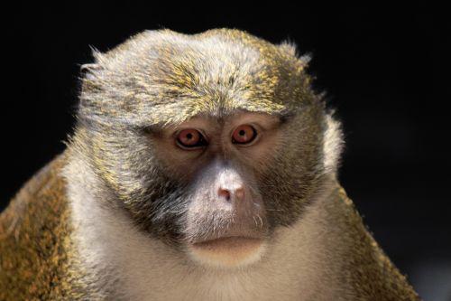 Monkey Gaze