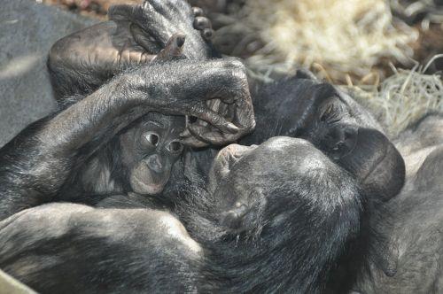 monkey love bonobos ape