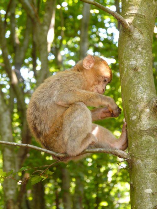 monkey mountain monkey salem