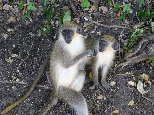 monkeys brush inquisitive