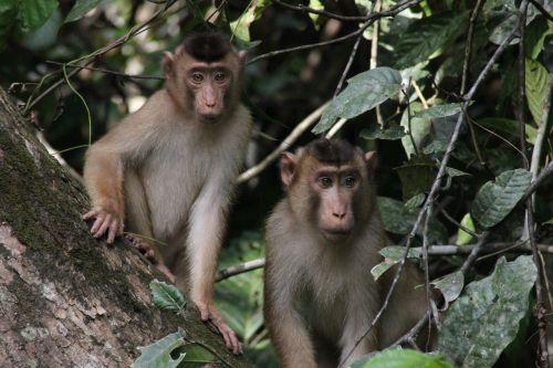 monkeys borneo wildlife