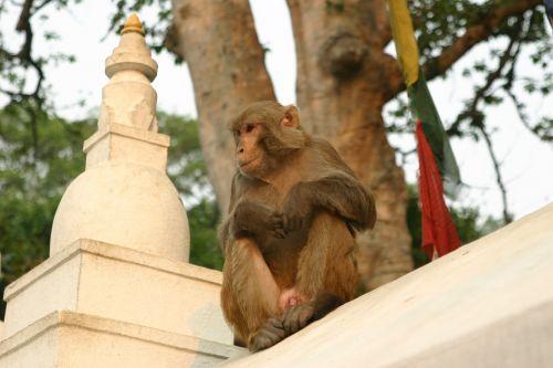 monkeys kathmandu temple