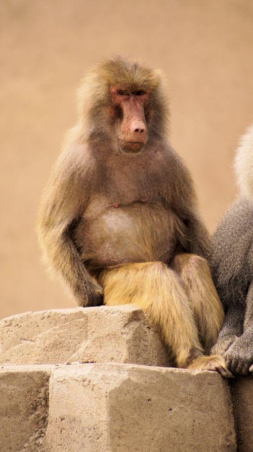 beždžionės,gyvūnai,žinduolis,zoologijos sodas,gamta,voverės beždžionė,maža bezdžionė,mielas,beždžionė,žvėrys,atsipalaidavęs,gyvūnų pasaulis