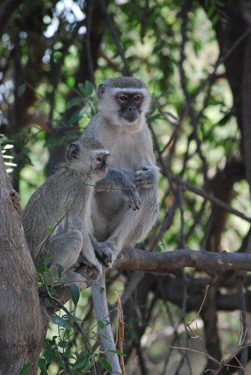 monkeys  africa  botswana