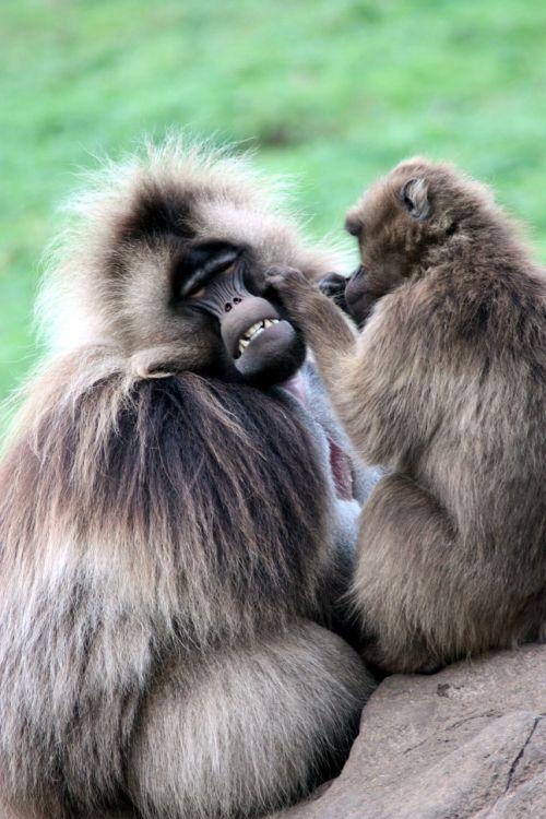 monkeys ape primate