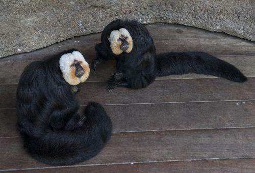 monkeys saki captivity
