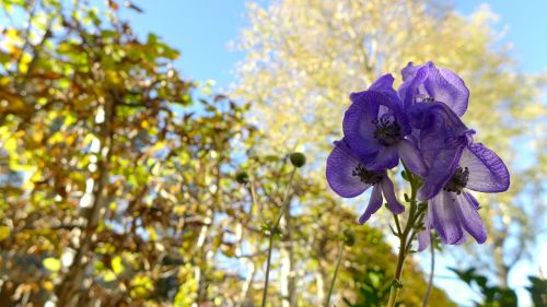 monkshood toxic plant