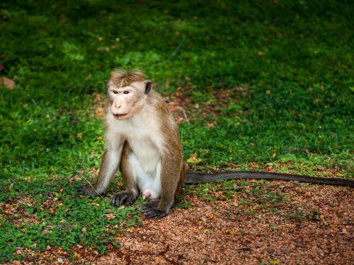 mono primate animal