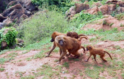 mono, ape, Macaco, gyvūnai, afrika, gamta, veisimas
