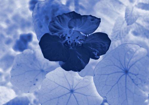 Monochrome Blue Nasturtium