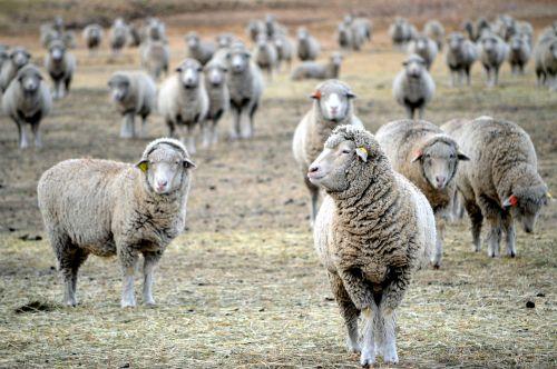 montana sheep grazing