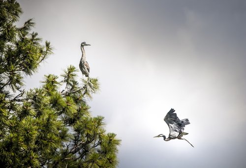 montana  heron  bird flying