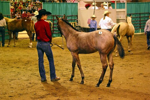 montana horse auction  horse  filly
