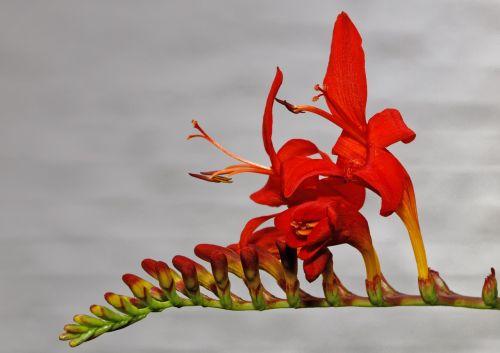 montbretia garden montbretia crocosmia × crocosmiiflora