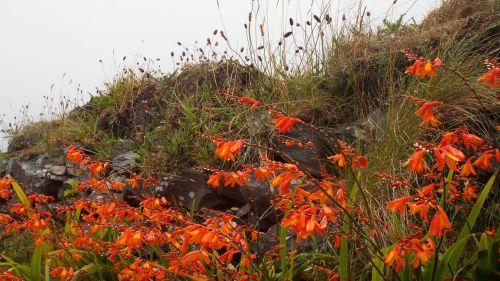 montbretia red flowers