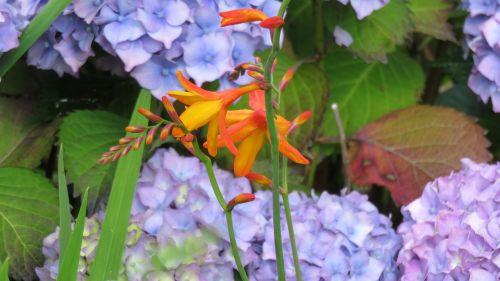 montbretia flower hydrangea