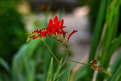 montbretia  red king  flower