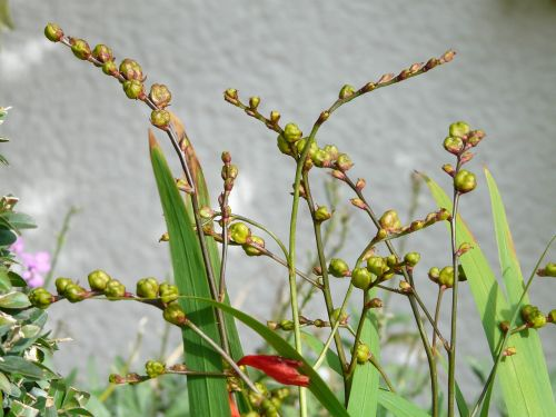 montbretia seeds seed capsules