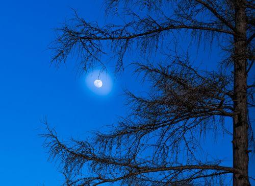 moon larch tree