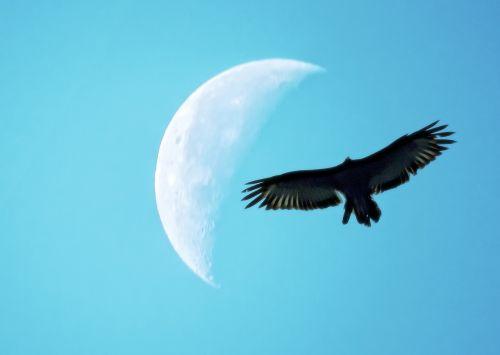 quarter moon bird silhouette flight