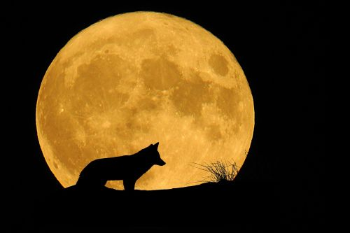 moon full moon animal