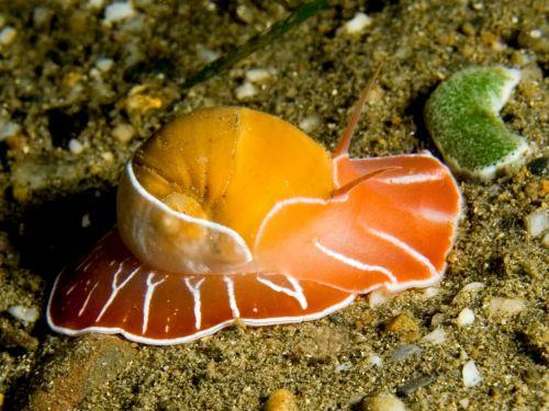 moon snail maritime sea life