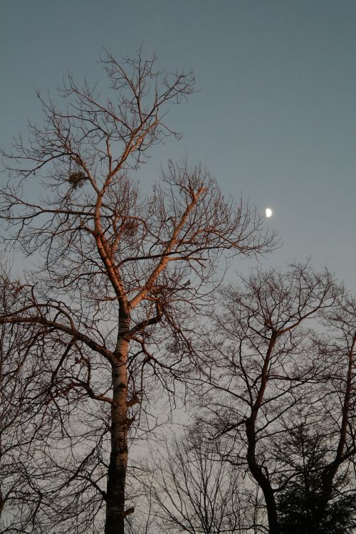 moonlight tree poplar