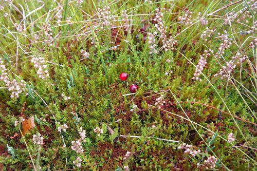 moor berries red